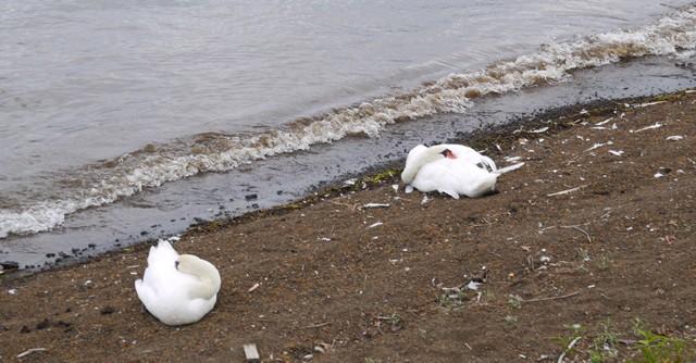 白鳥が普通にくつろいでいた