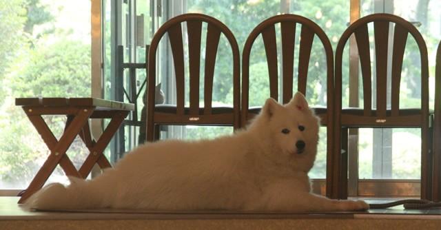 明日も早起き〜。ウエルカムドッグのサモエド犬「ミルク」も応援!