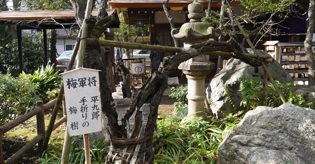 これが曲垣平九郎が将軍・家光に献上するために折ったという梅の木