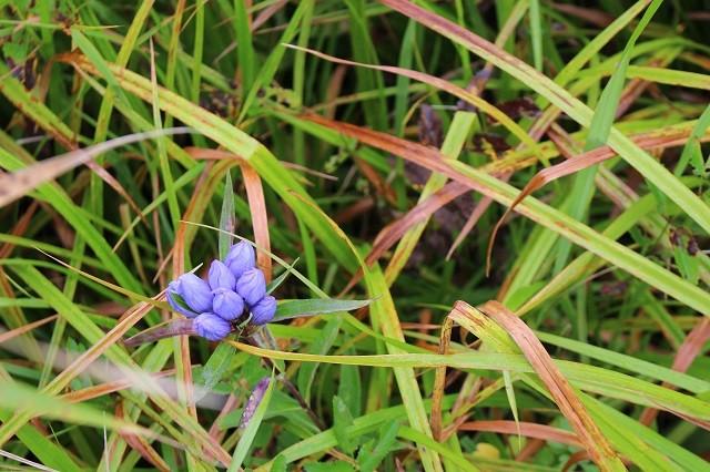 エゾリンドウの花が奇麗に咲いていた