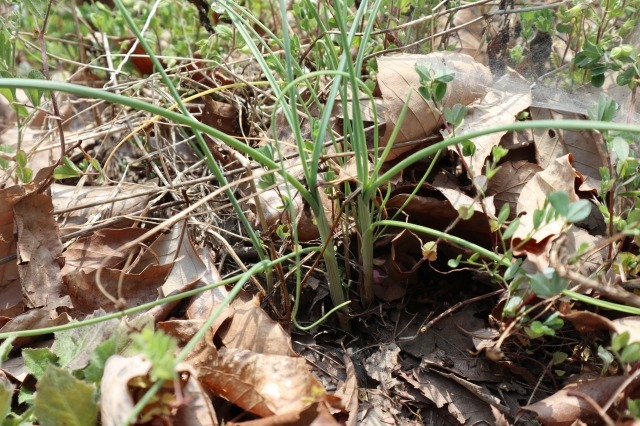 雑草のように生えてる野草・ノビルの採取方法とレシピ