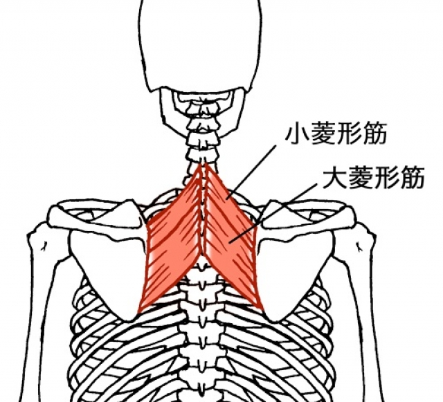 あらゆる状況で必要不可欠な筋肉 「菱形筋」とは?